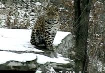 Выпавший снег удивил годовалого леопарда в Приморье