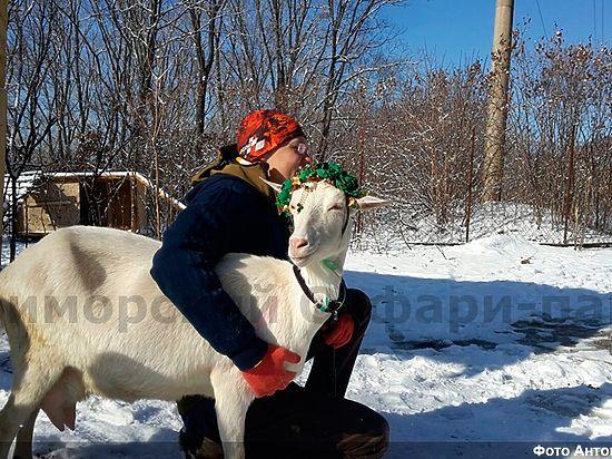 Козла Тимура разлучили сбеременными козами
