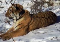 Приморский тигр Владик интересуется соседкой по вольеру
