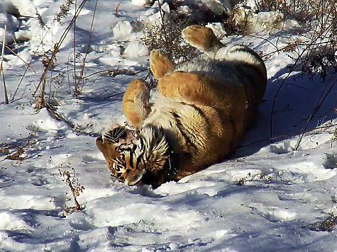 Тигр, пойманный впригороде Владивостока, заглядывается насоседку повольеру