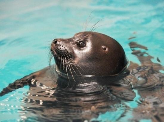 Сотрудники Приморского океанариума рассказали о жизни байкальских нерп