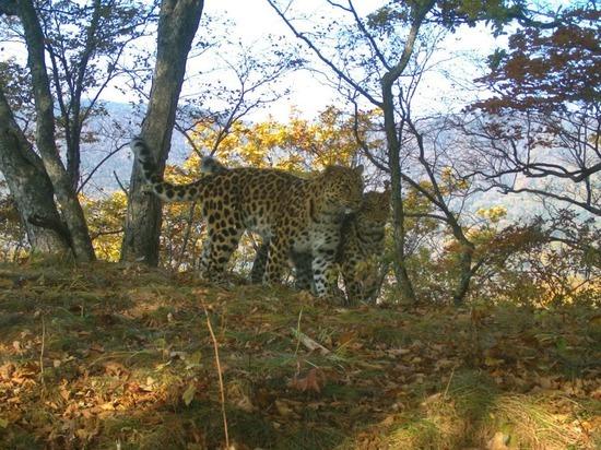 Леопардесса - крестница американского актера родила котенка в Приморье